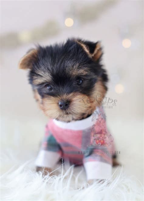 puppies for sale yorkies teacup or teacup yorkies for sale teacups puppies boutique