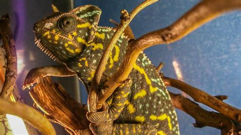 veiled chameleons  eggs  adulthood youtube