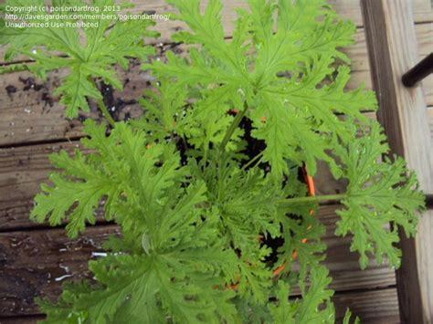 25 best ideas about pelargonium citrosum on pinterest
