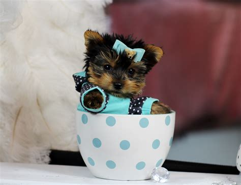teacup yorkie baby teacup yorkie bring this baby home today call 954 353 7864 www