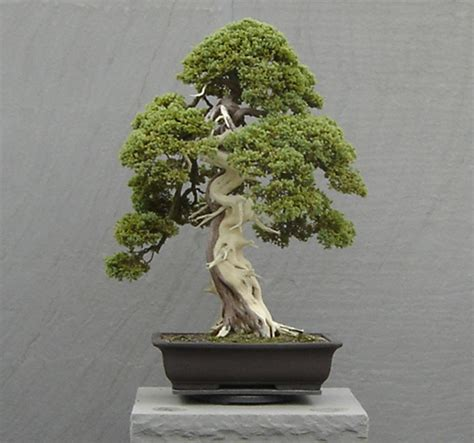 bonzi tree flowering bonsai facts about bonsai flowers flowers