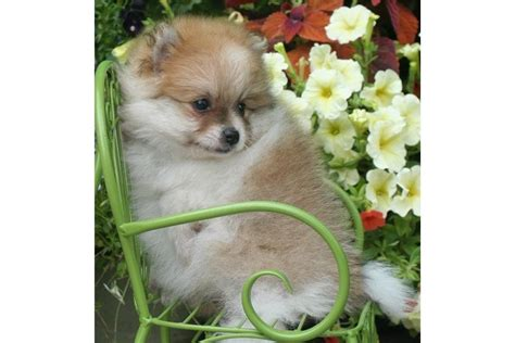 pomeranian puppies for adoption in illinois pomeranian puppies for adoption we these pomeranian puppies which breeds