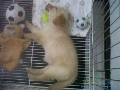 Jual Kandang Pagar Anjing Surabaya dunia anjing jual anjing golden retriever jual golden