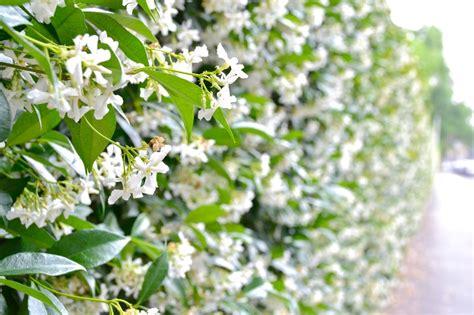 come curare il gelsomino in vaso il gelsomino cura coltivazione e significato