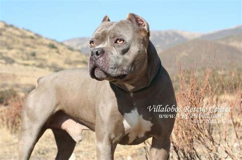 pitbulls and parolees dogs creature villalobos rescue center pit bulls and parolees sweetheart pitbull xo