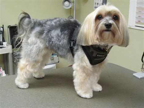 groom morkies 19 best images about morkie on pinterest back to yorkie
