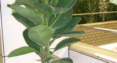pianta da appartamento piante verdi da appartamento piante appartamento come