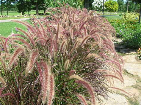 pics for gt tall perennial grasses