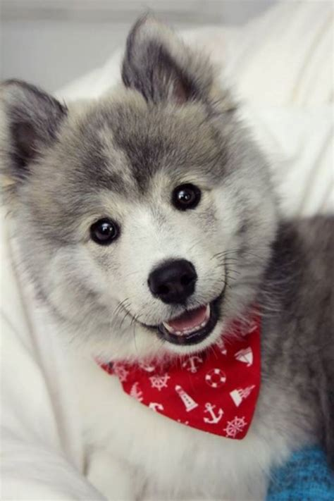 how much does a pomeranian husky mix cost husky pomeranian mix for sale in michigan breeds picture