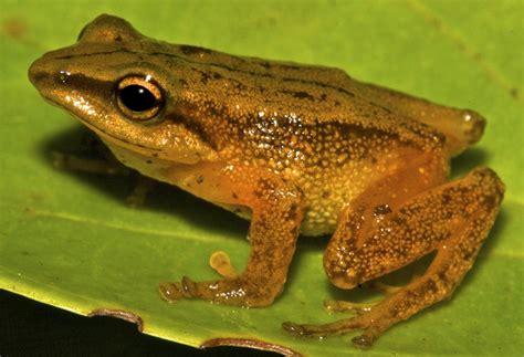 imagenes ironicas de la rana la rana de el dorado una nueva especie descubierta en
