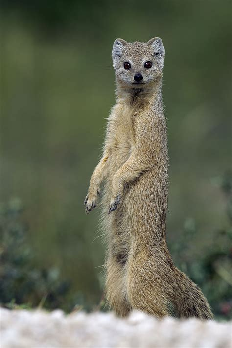 Yellow Mongoose Wikipedia Picture Of