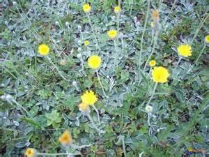 photo piloselle ou oreille de souris hieracium pilosella