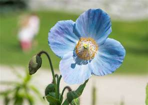 List Of Garden Flowers With Pictures 7 Plants With True Blue Flowers The Garden