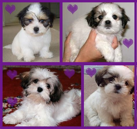 shih tzu vs maltese maltese x shih tzu mal shi for sale in marayong new south wales photo breeds picture
