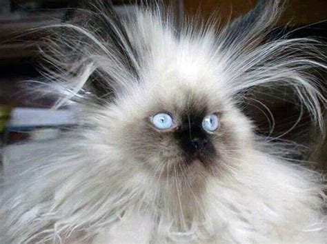 cat hair cat bad hair day band of cats