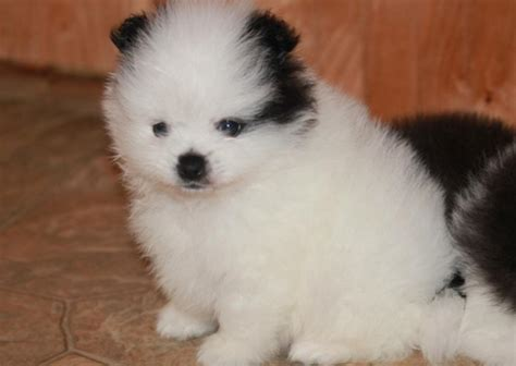 teacup pomeranian images teacup pomeranian puppies for sale teacup puppies for sale pom for breeds picture