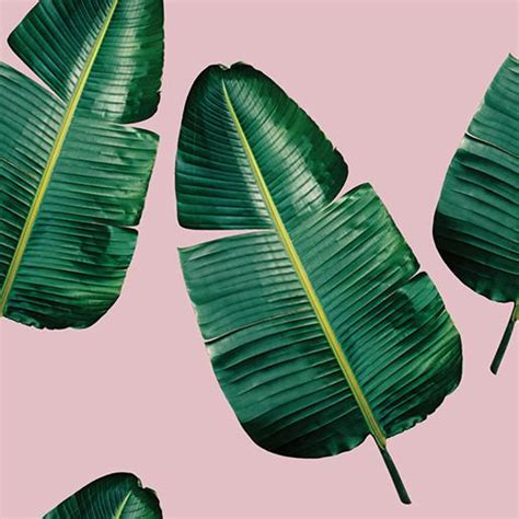 wallpaper banana pink banana leaf pink wallpaper knus