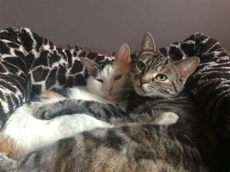 cat and cuddling cuddling cats pictures photos and images for and