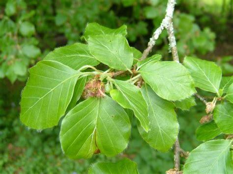 fagus sylvatica fagus sylvatica beech fagaceae images