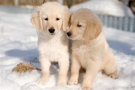 golden retriever puppy in snow 50 most lovely golden retriever puppy pictures and images