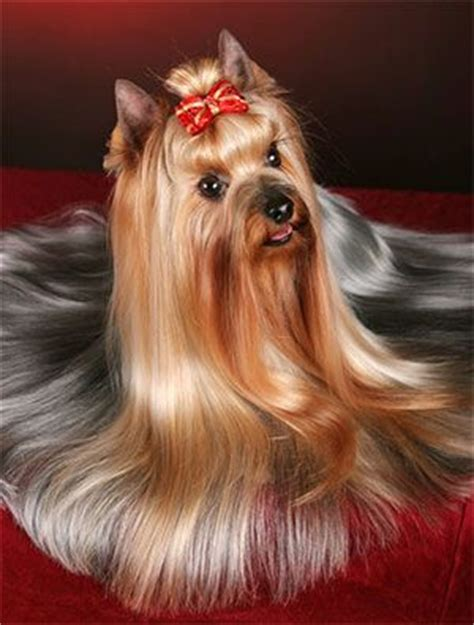 stunning yorkie hair cuts chorkie hair styles search results hairstyle galleries