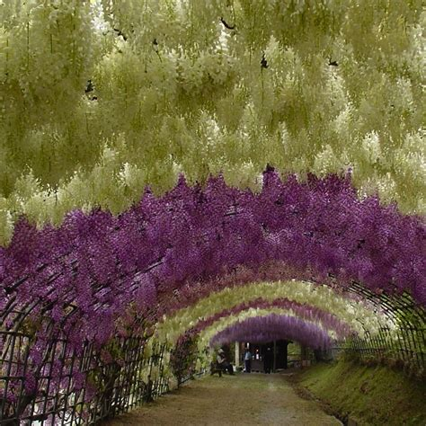 wisteria flower tunnel in japan the cinderella project because every girl deserves a