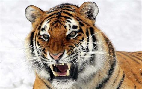 imagenes google tigres 7 fatos fascinantes sobre os tigres