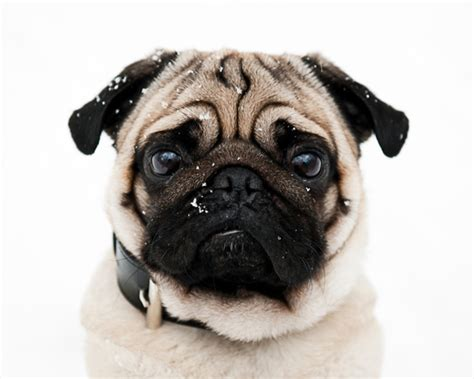 perros pug gu 237 a de razas perro pug