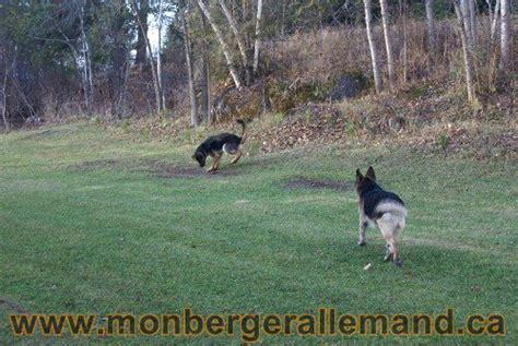 lade le berger photos g 233 n 233 rale sur nos berger allemand