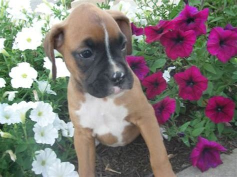 free puppies in portland oregon boxer puppies with 3 generation pedigree cert for sale adoption from portland oregon