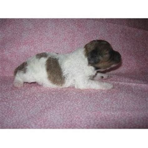 puppies for sale blacksburg va country hollow kennels cockapoo breeder in blacksburg virginia listing id 21548