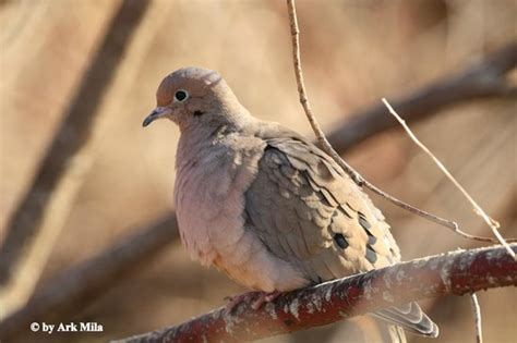 mourning dove picture of lynde shores conservation area