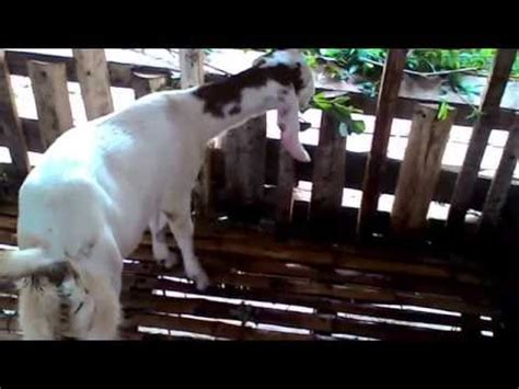 Jual Bibit Kambing Saanen harga kambing peluang usaha ternak jual kambing doovi