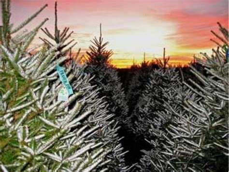 holiday guide where to cut your own christmas tree