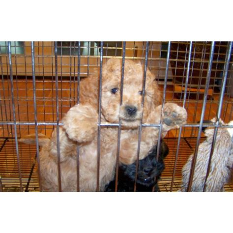 mini labradoodles ny puppies for sale goldendoodle miniature goldendoodles