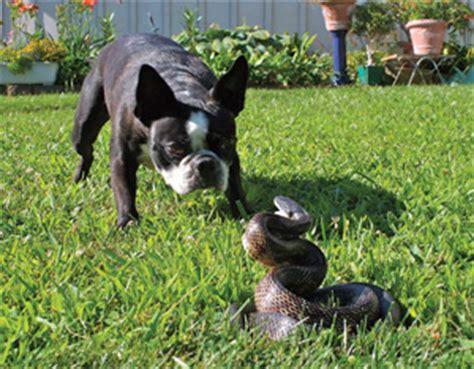 rattlesnake vaccine for dogs rattlesnake vaccine for dogs in palmdale ca palmdale veterinary hospital