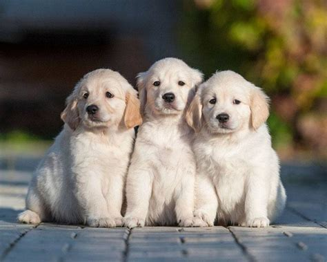 Puppy Golden Retriever Www Pixshark Images Galleries With A Bite