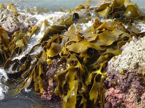 algae brown phaeophyta phaeophyceae
