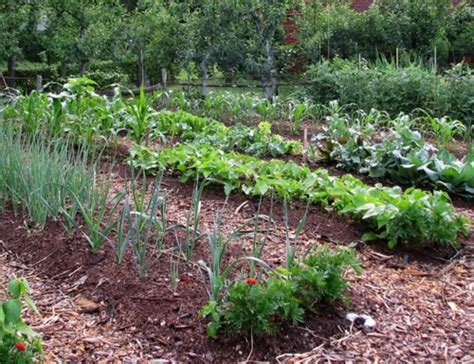 mulching vegetable plants how to guide