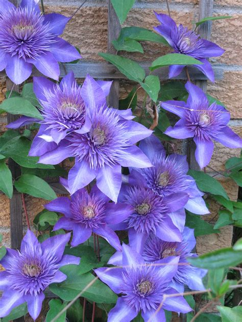 Multi Blue Clematis 1111 by Multi Blue Clematis File Clematis 39 Multi Blue 39 1 Jpg