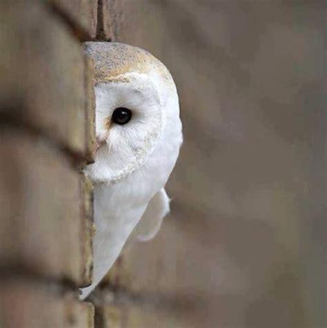 White Owl Meme - ふくろうさん hoooooootatta twitter