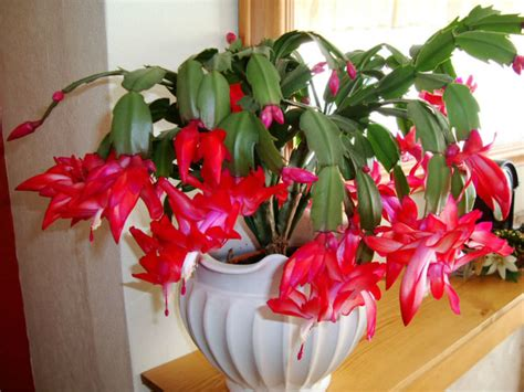 how much darkness do christmas cactus need 10 facts about cacti world of succulents