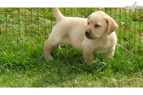 lab puppies sc akc yellow lab puppies yellow labrador retriever puppy for sale in greenville