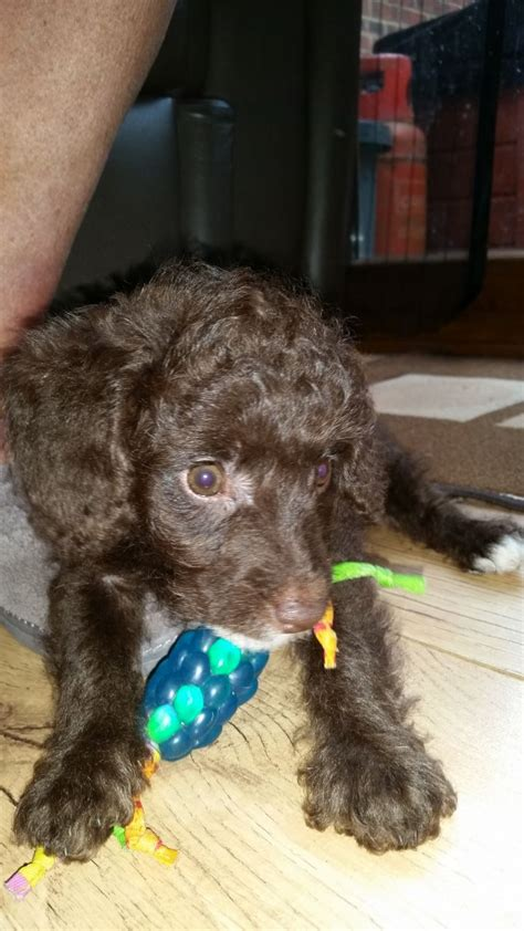 chocolate mini labradoodle puppies for sale chocolate miniature labradoodle puppy for sale milton keynes buckinghamshire