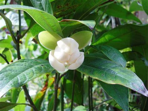 jual jual bunganya cempaka putih super jumbo  bunga