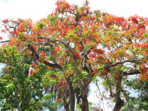 royal poinciana tree tropical florida gardens
