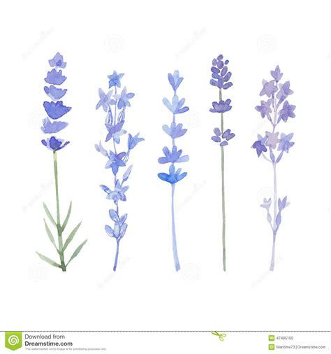 watercolor lavender set lavender flowers isolated on