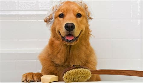 cataracts in golden retrievers golden retriever breed information photos history and care advice