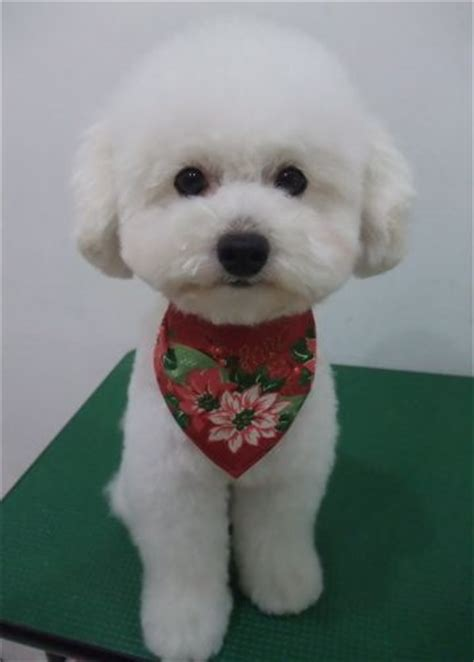 how to give a bichon a puppy cut toy poodle toy poodle teddy bear cut cut toy poodle