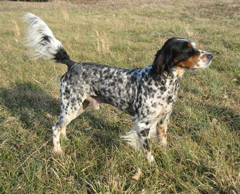 llewellin setter dog breeders llewellin setters hidden creek kennels